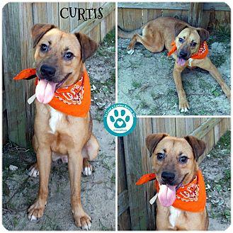 Boxer/Labrador Retriever Mix Dog for adoption in Kimberton, Pennsylvania - Curtis