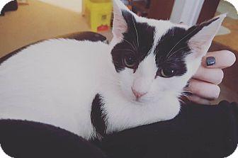 Domestic Shorthair Kitten for adoption in Lexington, Kentucky - Dancer