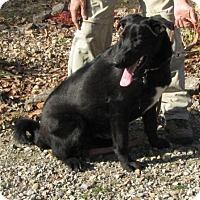 Adopt A Pet :: Shadow - Springfield, VA