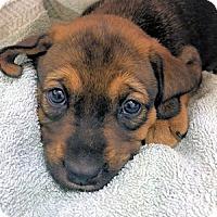 Adopt A Pet :: Arya Stark - Atlanta, GA