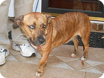 Corgi/Catahoula Leopard Dog Mix Dog for adoption in Raleigh, North Carolina - Betsey
