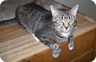 Polydactyl/Hemingway Cat for adoption in Scottsdale, Arizona - Grant