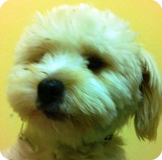 Pomeranian/Poodle (Miniature) Mix Puppy for adoption in Oswego, Illinois - Powder