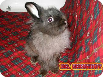 Lionhead for adoption in Walker, Louisiana - Mr. Chestnut