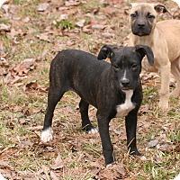 Adopt A Pet :: Ariel - Cranford, NJ