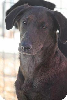 Shepherd (Unknown Type)/Labrador Retriever Mix Dog for adoption in Mahwah, New Jersey - Karlie