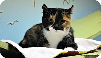 American Curl Cat for adoption in West Des Moines, Iowa - Kevin