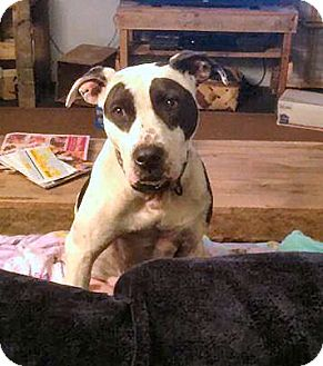 Pointer/Terrier (Unknown Type, Medium) Mix Dog for adoption in Jacksonville, Florida - Holly