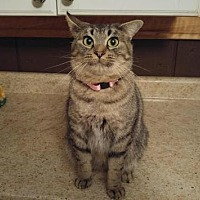 Domestic Shorthair Cat for adoption in Algonquin, Illinois - Zola