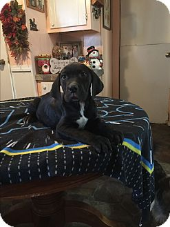 Labrador Retriever/Boxer Mix Puppy for adoption in Kittery, Maine - Coby