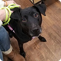 Adopt A Pet :: Lexie the Lab - Laingsburg, MI