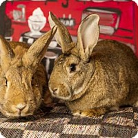 Flemish Giant for adoption in Methuen, Massachusetts - RHONDA