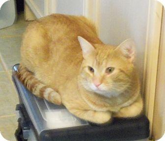 Domestic Shorthair Cat for adoption in Catasauqua, Pennsylvania - Bo