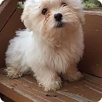 Adopt A Pet :: Brody - Algonquin, IL