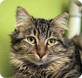 Domestic Longhair Cat for adoption in Austin, Texas - Penelope Pigeon