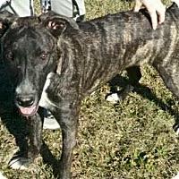 Adopt A Pet :: Bones - Stamford, CT