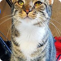 Domestic Shorthair Cat for adoption in Philadelphia, Pennsylvania - Stella