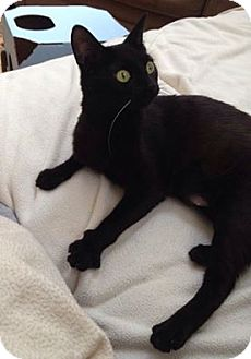 Domestic Shorthair Cat for adoption in Chicago, Illinois - Clementine