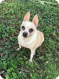 Chihuahua Dog for adoption in Fort Lauderdale, Florida - Chunk