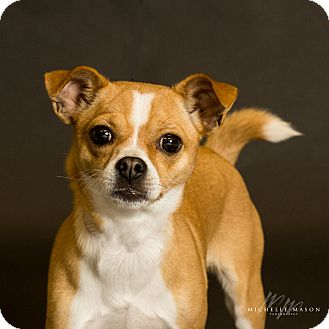 Chihuahua Dog for adoption in Naperville, Illinois - CiCi