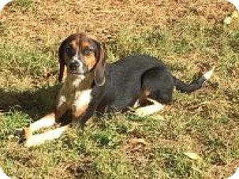 Beagle Mix Dog for adoption in Dumfries, Virginia - Sasha