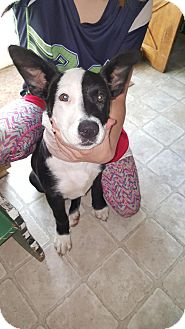 Pit Bull Terrier Mix Puppy for adoption in Lacey, Washington - Ophelia