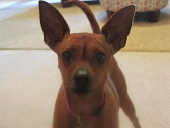 Miniature Pinscher Mix Dog for adoption in Decatur, Georgia - Cherilee