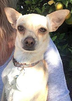 Chihuahua Mix Dog for adoption in Scottsdale, Arizona - Mini Bean