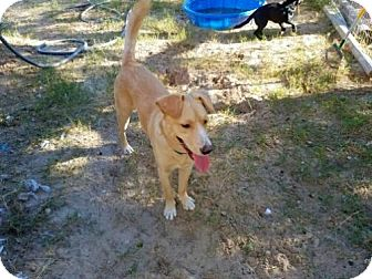 Labrador Retriever/Australian Kelpie Mix Dog for adoption in Danbury, Connecticut - Honey Bear