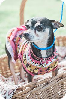 Manchester Terrier Mix Dog for adoption in Brownsville, Texas - Angel