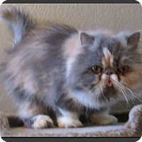 Adopt A Pet :: Annie Lou - Gilbert, AZ