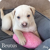 Adopt A Pet :: Brutus - Summerville, SC