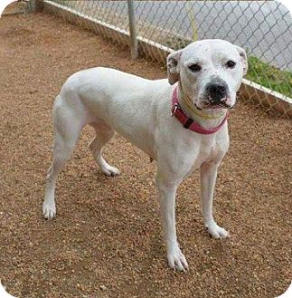 Pit Bull Terrier Mix Dog for adoption in Union City, Tennessee - Ollie