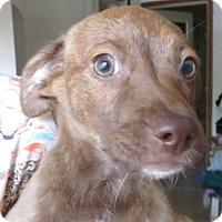 Adopt A Pet :: Cindy! ADORABLE Puppy - St Petersburg, FL