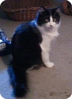 Domestic Longhair Cat for adoption in Battle Ground, Washington - Champ