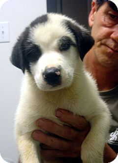 Labrador Retriever/Great Pyrenees Mix Puppy for adoption in Greencastle, North Carolina - Chevy