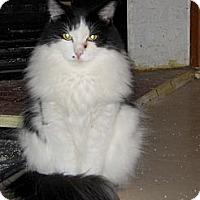 Adopt A Pet :: Scoobie - Toronto, ON