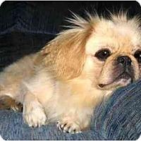 Adopt A Pet :: Toto - Mays Landing, NJ