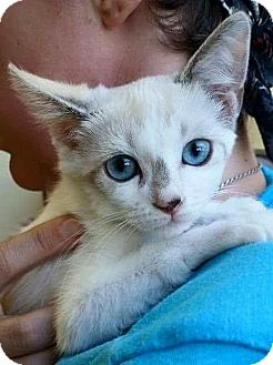 Siamese Kitten for adoption in Rosamond, California - Petunia
