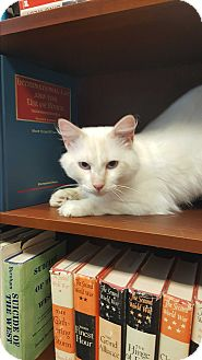 Balinese Cat for adoption in Albemarle, North Carolina - Boyd
