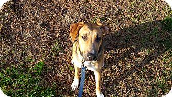 Foxhound/German Shepherd Dog Mix Dog for adoption in Lodi, California - Piper