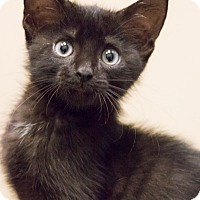 Adopt A Pet :: Little Richard - Chicago, IL
