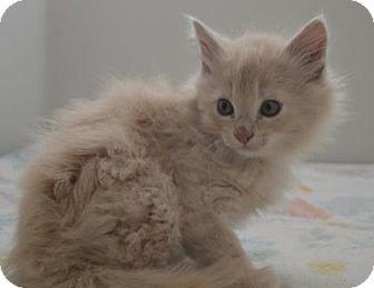 Domestic Shorthair Kitten for adoption in Buena Vista, Colorado - Paella