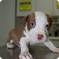 Adopt A Pet :: A Rose Puppy 3 - Pompano Beach, FL