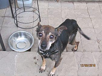 Miniature Pinscher Dog for adoption in Wapwallopen, Pennsylvania - Susie - 13