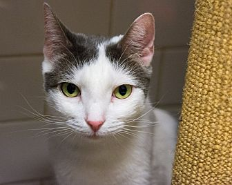 Domestic Shorthair Cat for adoption in New York, New York - Bennett