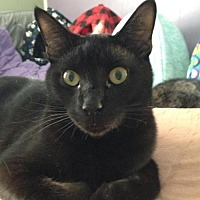 Domestic Shorthair Cat for adoption in Yardley, Pennsylvania - Jax