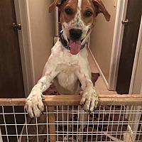 Adopt A Pet :: Scout (courtesy listing) - Baton Rouge, LA