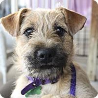 Adopt A Pet :: Sue - Plano, TX