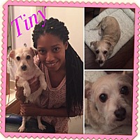 Adopt A Pet :: Tiny 2 - Las Vegas, NV